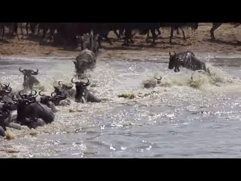 Wildebeest migration crossing the Mara River at crossing points 2-8 - Part 4