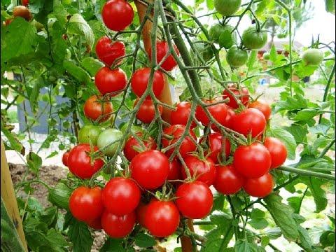 évolution de tomates cerises en pot