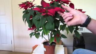 Poinsettia Care: After Flowering