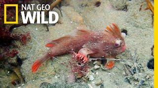 Rare Red Handfish Colony Discovered in Tasmania | Nat Geo Wild