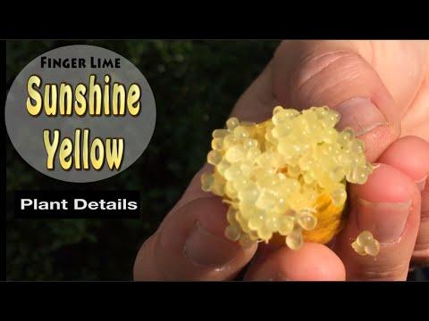Sunshine Yellow Grafted Finger Lime Fruit Tree in Australia