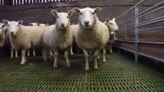Как построить овчарню: пошаговая инструкция