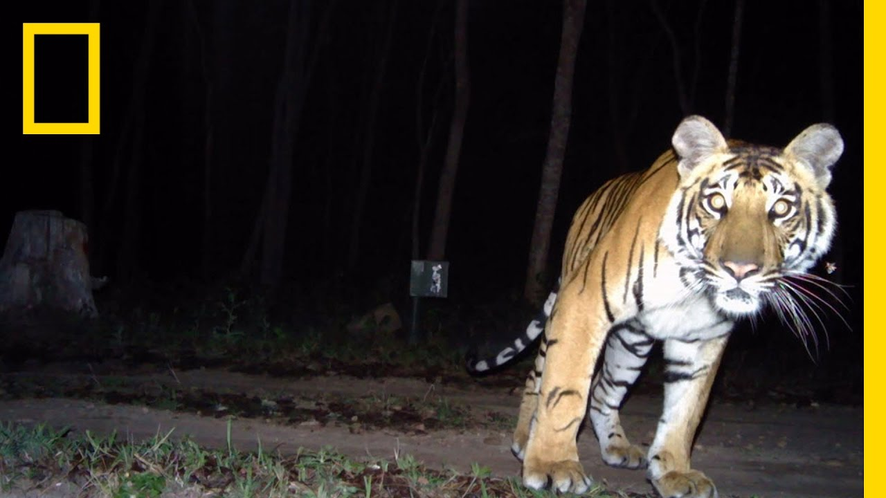 """Camera Traps """"Capture"""" Elusive Tigers 
