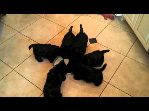 Cute Animal Video: The Scottie Pinwheel!