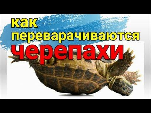 Как переворачиваются черепахи