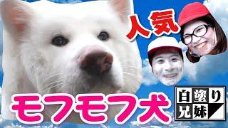【秋田犬】話題沸騰のフワフワモコモコワンちゃんに会いに行った/白塗り兄妹の大冒険#31