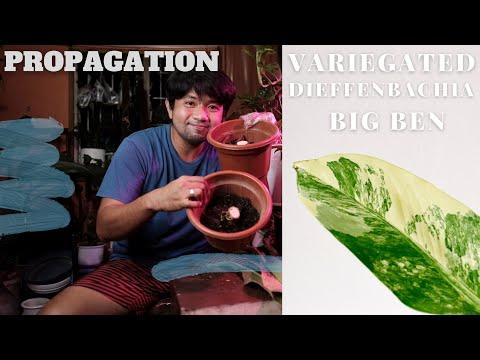 , title : 'Propagating Variegated Dieffenbachia Big Ben