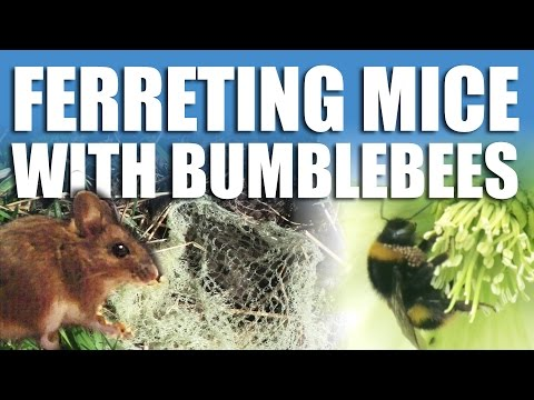 Ferreting Mice with Bumblebees