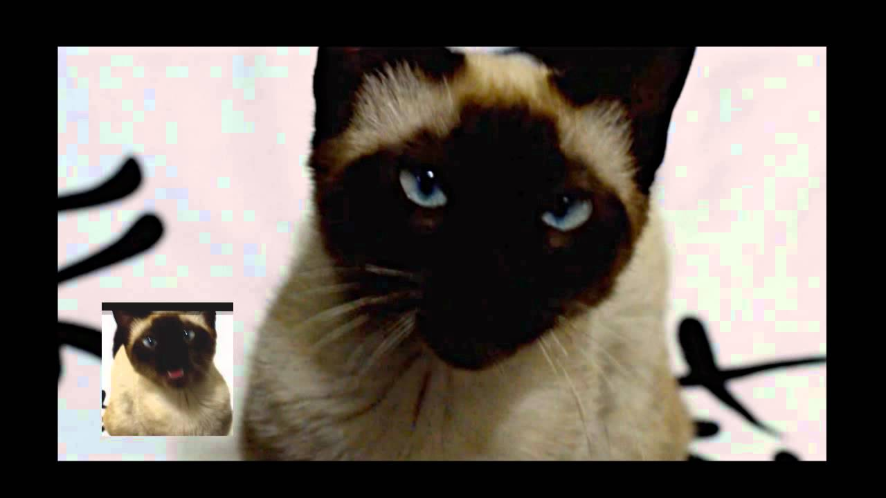 A Cat Sings The Game Of Thrones Intro
