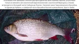 Рыба язь фото и описание