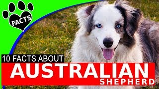 Australian Shepherd Dogs 101 (Aussie) Facts