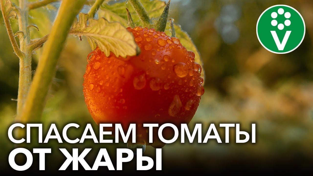 ЖАРА В ТЕПЛИЦЕ УНИЧТОЖИТ УРОЖАЙ! 3 приема, которые помогут томатам пережить жару