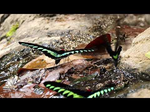 温泉に集まるアカエリトリバネアゲハ Rajah Brooke's birdwing mud-puddling