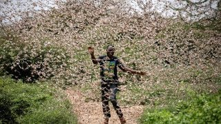 Locust invade Nyeri farms becoming the 19th county to face the wrath of the yellow desert insects