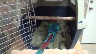 Santina Green-Winged Macaw - Carrier/Crate Training