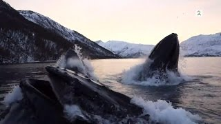 Norwegian fishermen have close encounter with hunting humpback whales (English subtitles)