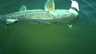 Even bigger Squawfish October 2012