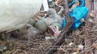 Baby Swan Birth - Real Video