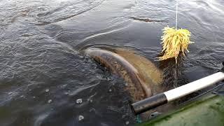 Рыбалка на сома с квоком кама