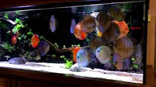 Gorgeous Discus Tank Owned By Vin Ng
