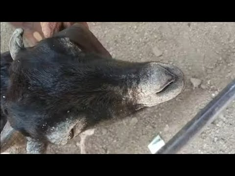 , title : 'mange infestation in goat how vet doctor treated/mites or scabies in goat symptoms lesion treatment