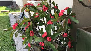 How to grow Crown Of Thorn bigger and get more branches faster | Euphorbia milii