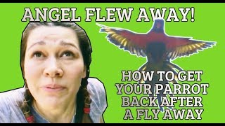 MY BIRD ANGEL FLEW AWAY!  How to get your Parrot back after a Fly Away
