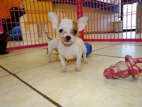 chihuahua puppies for sale in nc chihuahua puppies for sale in raleigh north carolina 264