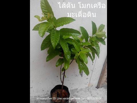 ต้นโมกเครือ ไส้ตัน มะเดื่อดิน วรากรสมุนไพร โทร 0821515014, ID line varakhonherbs