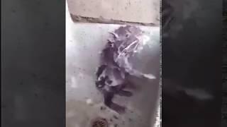 Temizkar siçan, мышка моется, mouse is bathing