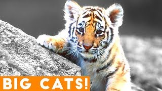 Смотреть онлайн Подборка приколов про тигров