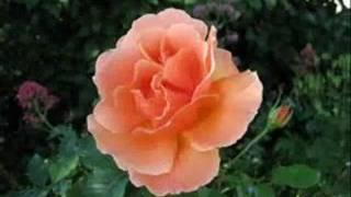 A Rose From Another Garden.wmv