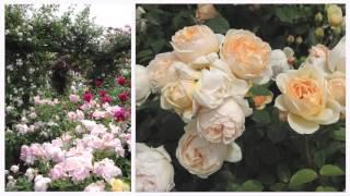 A Visit To An English Rose Garden: The David Austin Garden Center