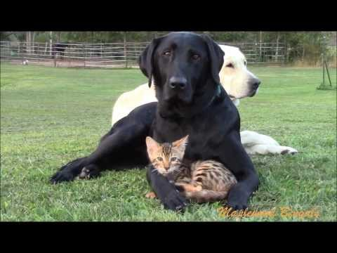 DOGS & CATS Can Be Friends! Our Bengal Kitten Sure Does Love His Labrador!