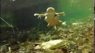 モリアオガエル・泳ぐ