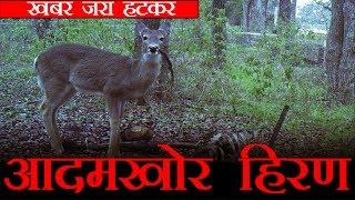 आदमखोर हिरण, शेर से ज्यादा खतरनाक है
