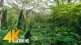4K Tropical Rainforest   5 HOURS Birds Chirping In The Woods   Oahu Island, Hawaii