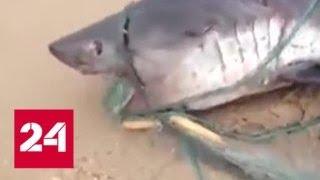 Челюсти: к берегам Сахалина повадились акулы-людоеды - Россия 24