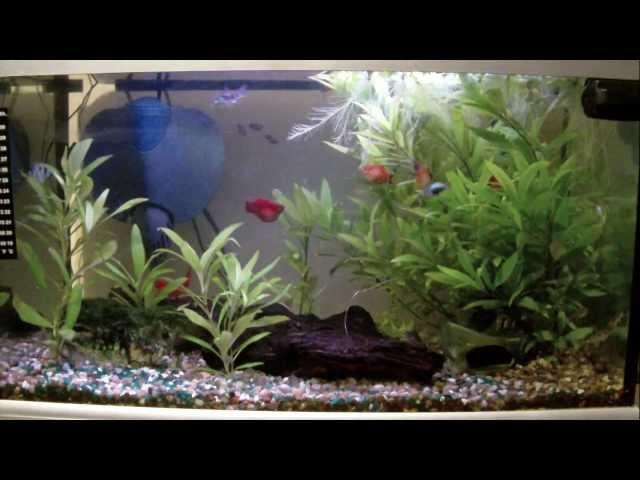 Fish Tank - Platies, Sterbai Corydoras, Peppered Corydoras, WCMM
