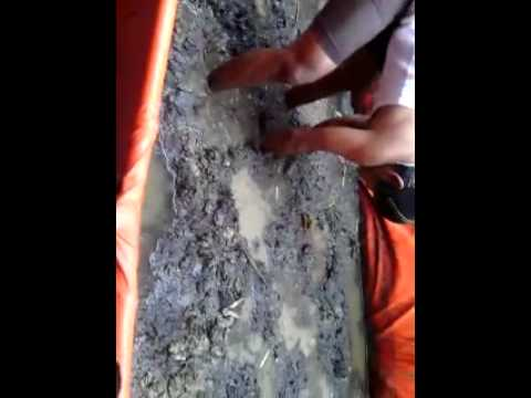 Video Panen BELUT dengan hasil luar biasa(kolam terpal)