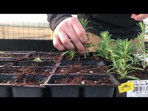 Rosemary Propagation Update! Gardening 🌿