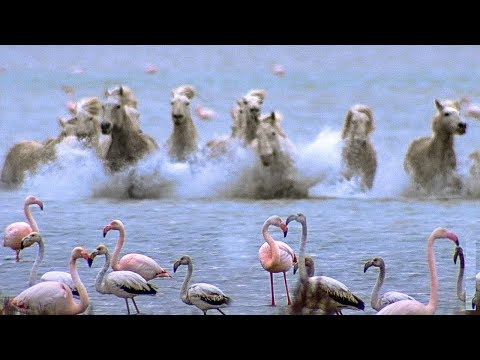 Flamingos Disrupted By Wild Horses