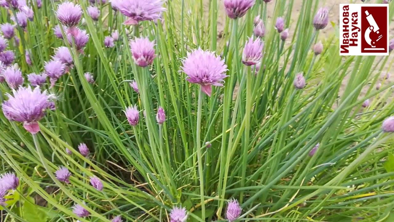 Колючие баклажаны, пероноспороз, проблемы сосны, необычные растения