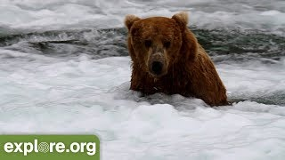 Katmai Bear Cam Live Chat powered by EXPLORE.org