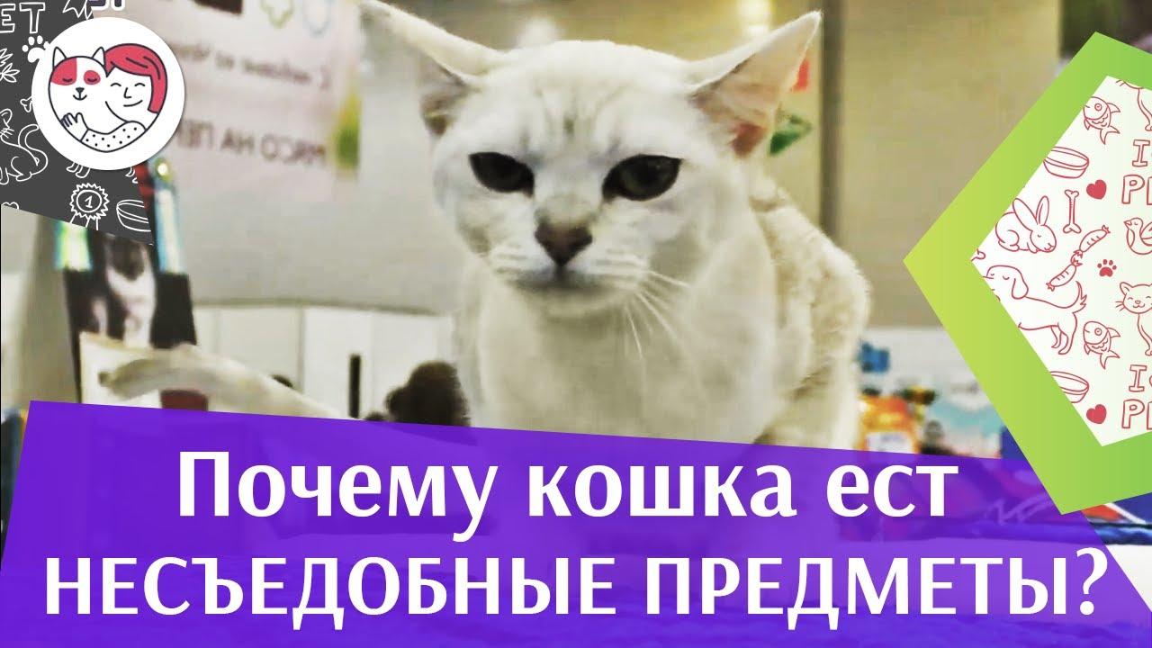 4 причины пикацизма у кошек