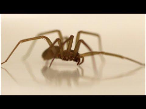 Десятки ядовитых пауков поселились в кровати американки | TVRu