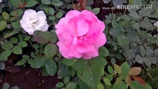 Difference Between English And Desi Rose  F F C B Roses Basic Difference