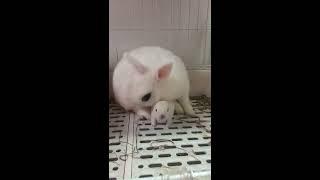 Breast feeding and Lactagogue tutorial for rabbit!兔子宝宝喂奶实录