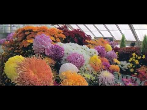 2017 Botanic Garden Fall Chrysanthemum Show
