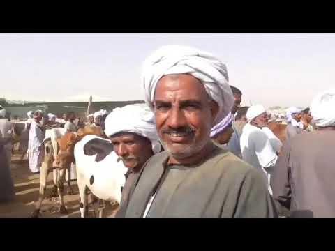 سعر ٢ عجيل لحم روعه من سوق الخميس بكوم امبو